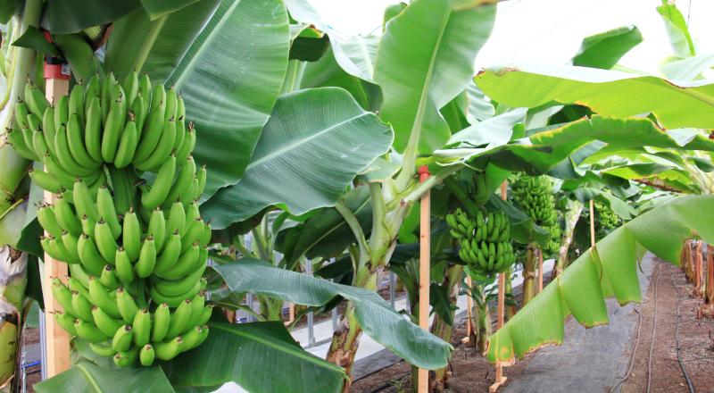 バナナ事業